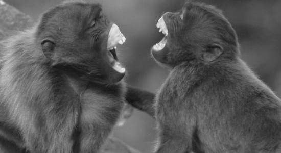 scimmie ridens